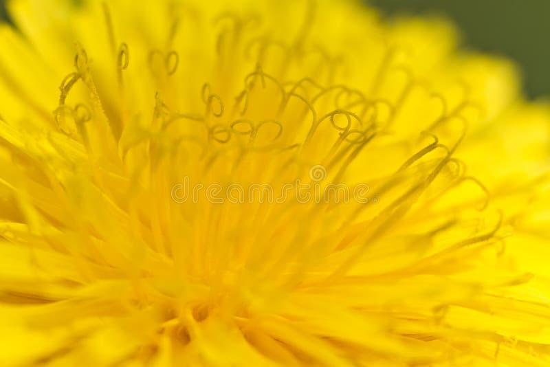 Żółty dandelion fotografia stock