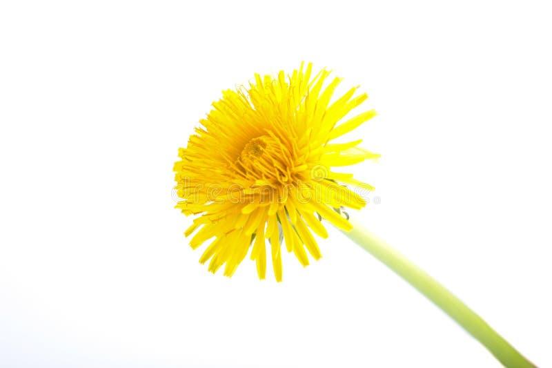 Żółty Dandelion kwiat na bielu Taraxacum Officinale obraz royalty free