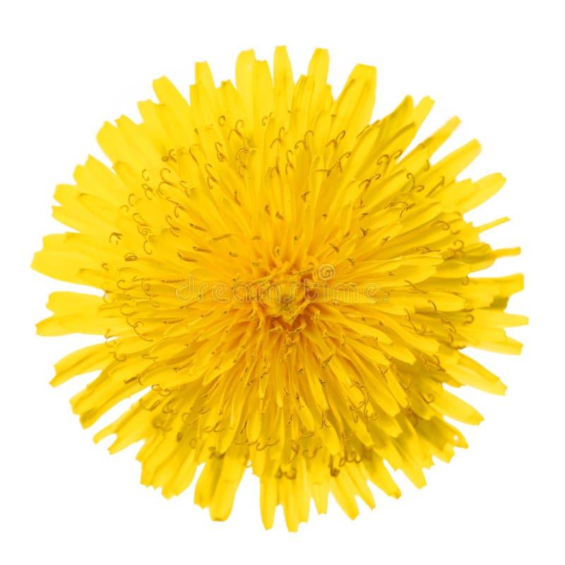 Żółty Dandelion kwiat Odizolowywający na bielu. Taraxacum officinale. obraz royalty free