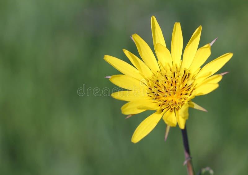 Żółty dandelion kwiatu wiosny sezon fotografia royalty free