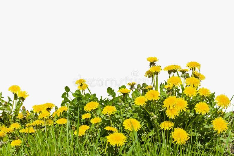Żółty dandelion kwitnie na białym tle fotografia royalty free