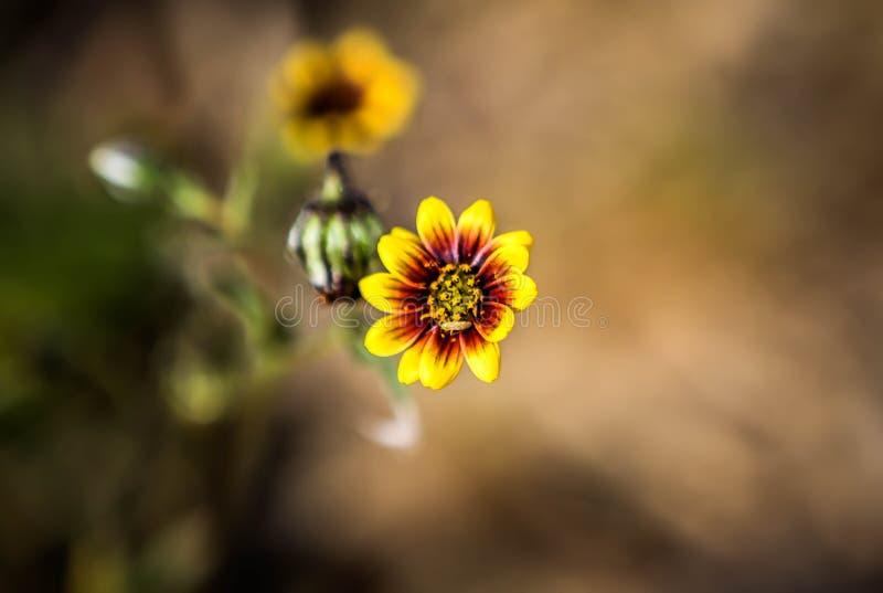 Żółty dziki kwiat Zachodni Australia obraz royalty free