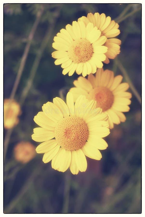 Żółty dzikiego kwiatu stokrotki chamomile zakończenie na haliźnie w polach obrazy stock