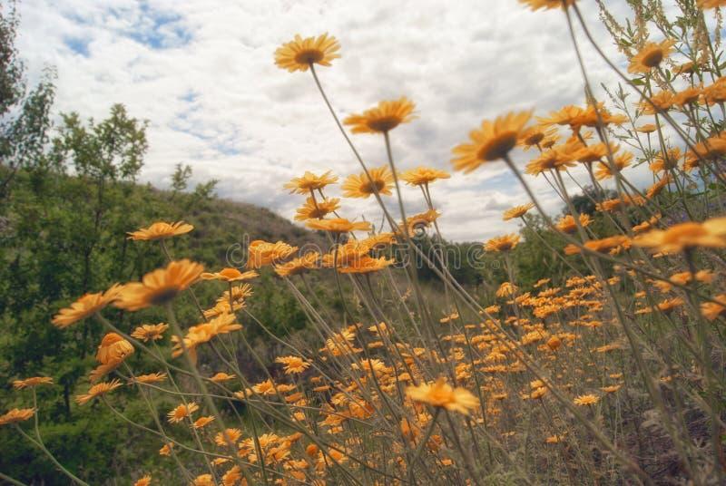 Żółty dzikiego kwiatu stokrotki chamomile zakończenie na haliźnie w polach zdjęcia royalty free