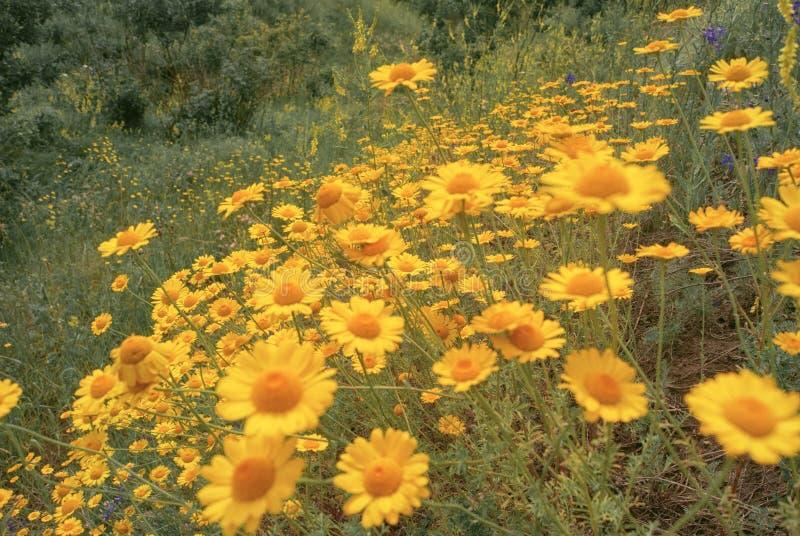 Żółty dzikiego kwiatu stokrotki chamomile zakończenie na haliźnie w polach zdjęcie royalty free
