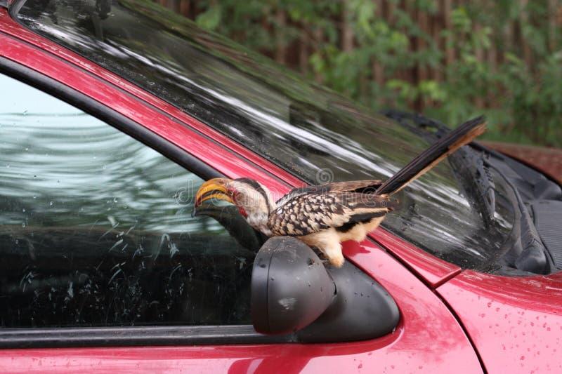 Żółty dzioborożec klapanie na Samochodowym okno obraz stock