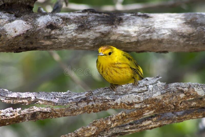Żółty Finch obrazy stock
