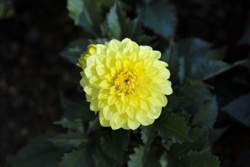 Żółty Floryda dalii kwitnienie zdjęcie royalty free