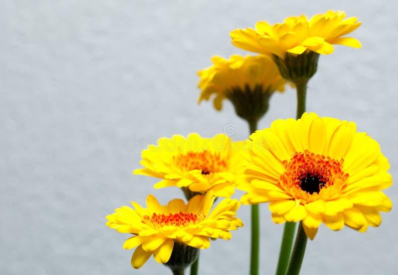 Żółty gerbera obraz royalty free