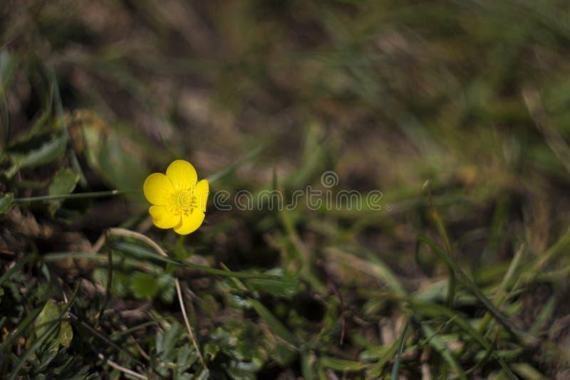 Żółty halny kwiat obrazy royalty free