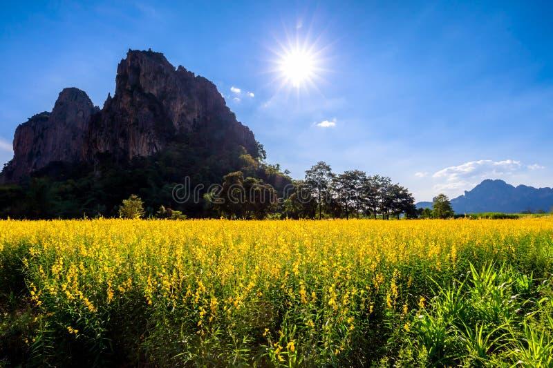 Żółty Indiańskiego konopie pole obraz stock