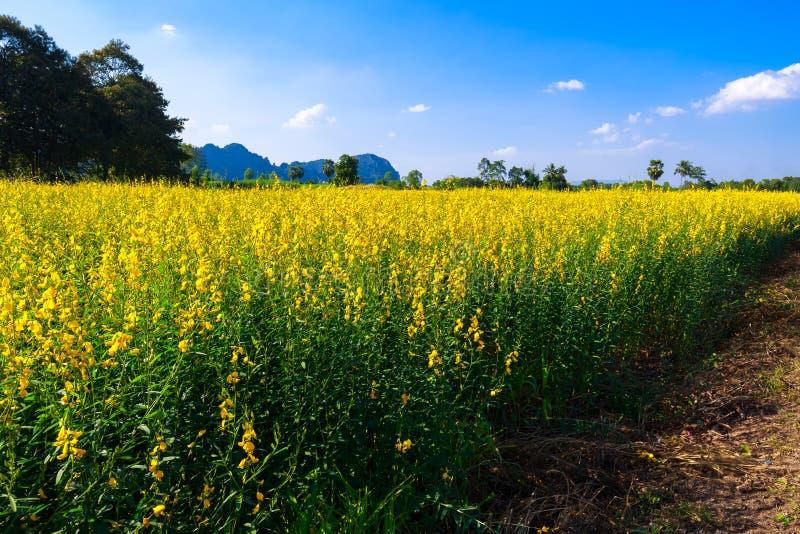 Żółty Indiańskiego konopie pole zdjęcia royalty free