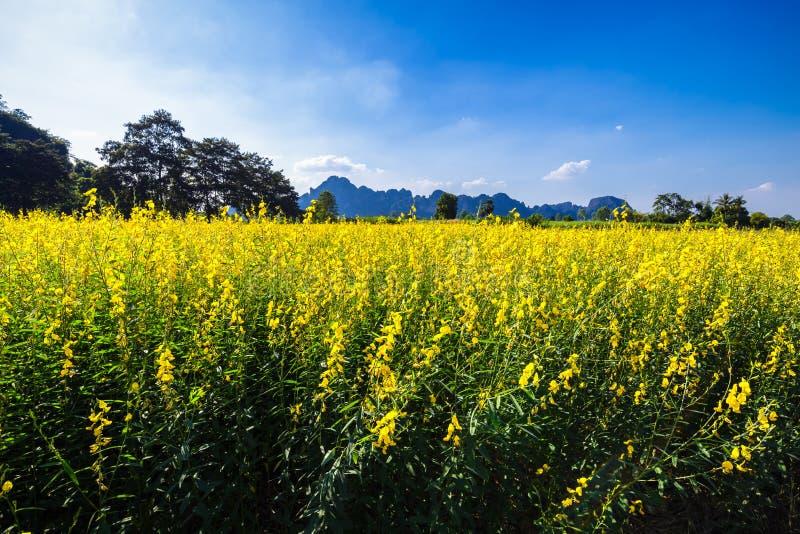Żółty Indiańskiego konopie pole zdjęcie stock