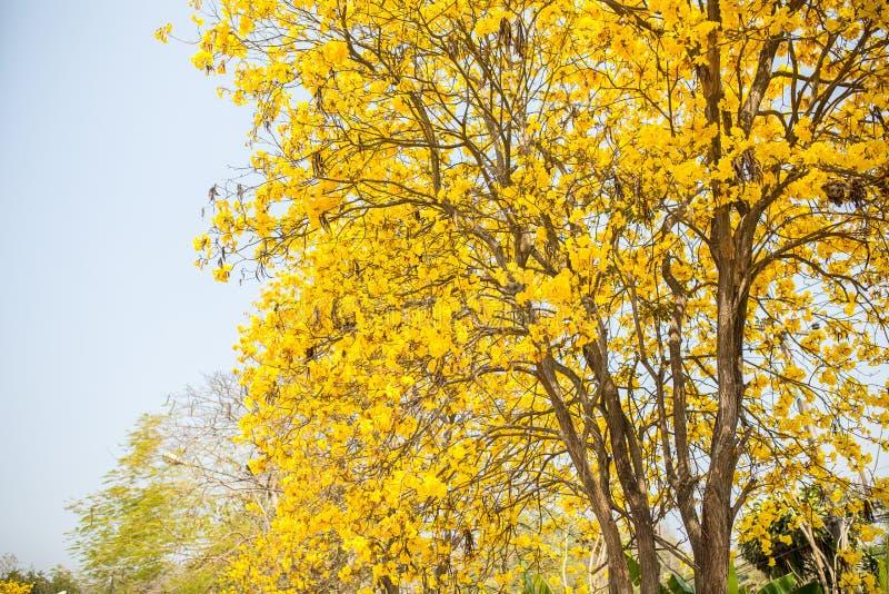 Żółty indyjski drzewo w Sa Merng, Chiangmai, Tajlandia zdjęcie stock