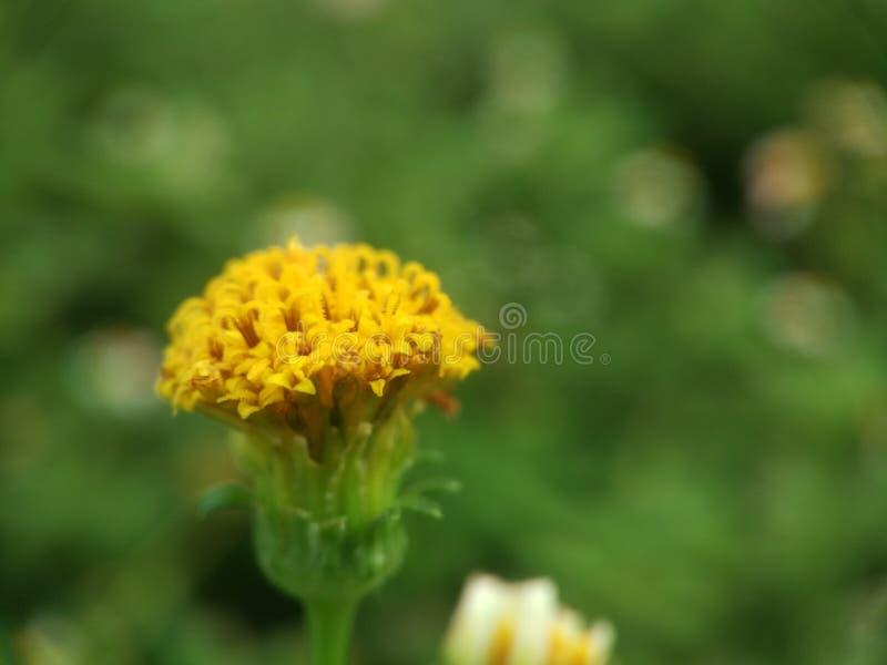 Żółty insekta drapieżnik obraz stock