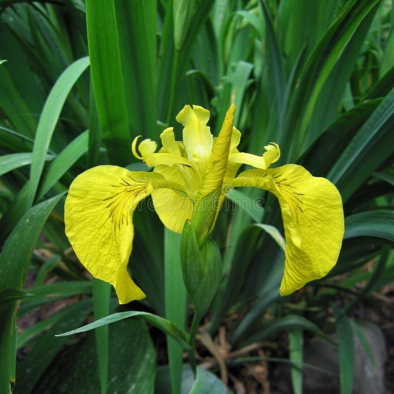 Żółty irys fotografia stock