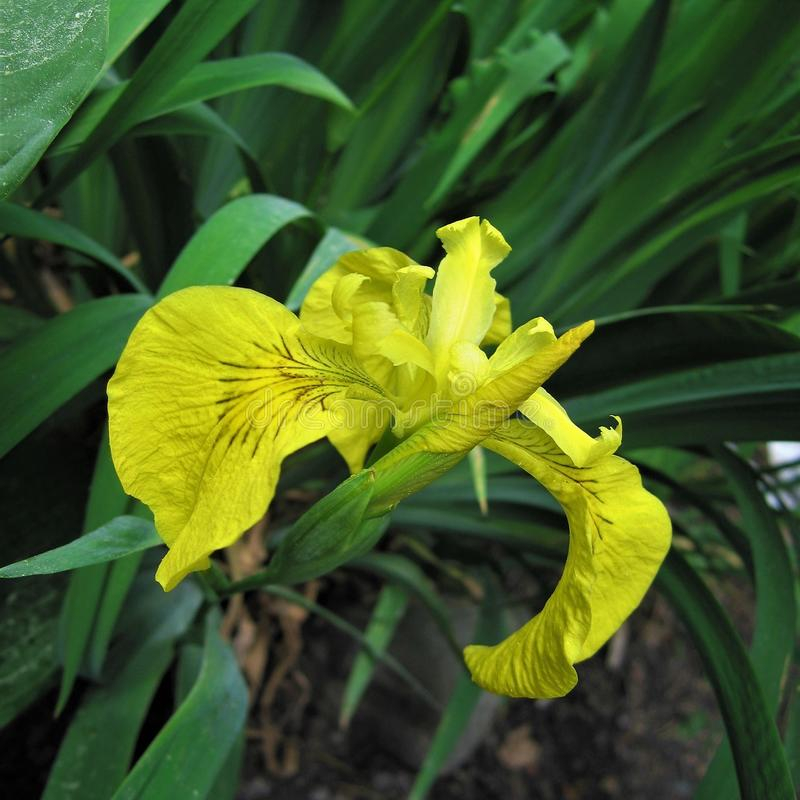 Żółty irys obraz stock