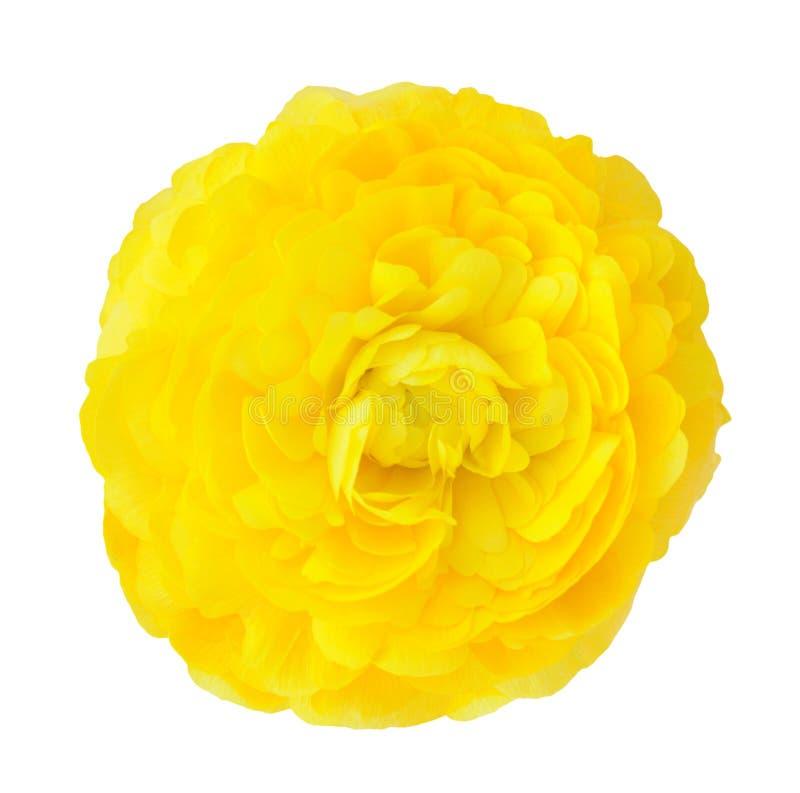 Żółty jaskier zdjęcia stock