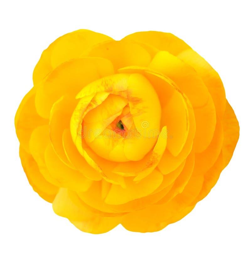 Żółty jaskier obrazy royalty free