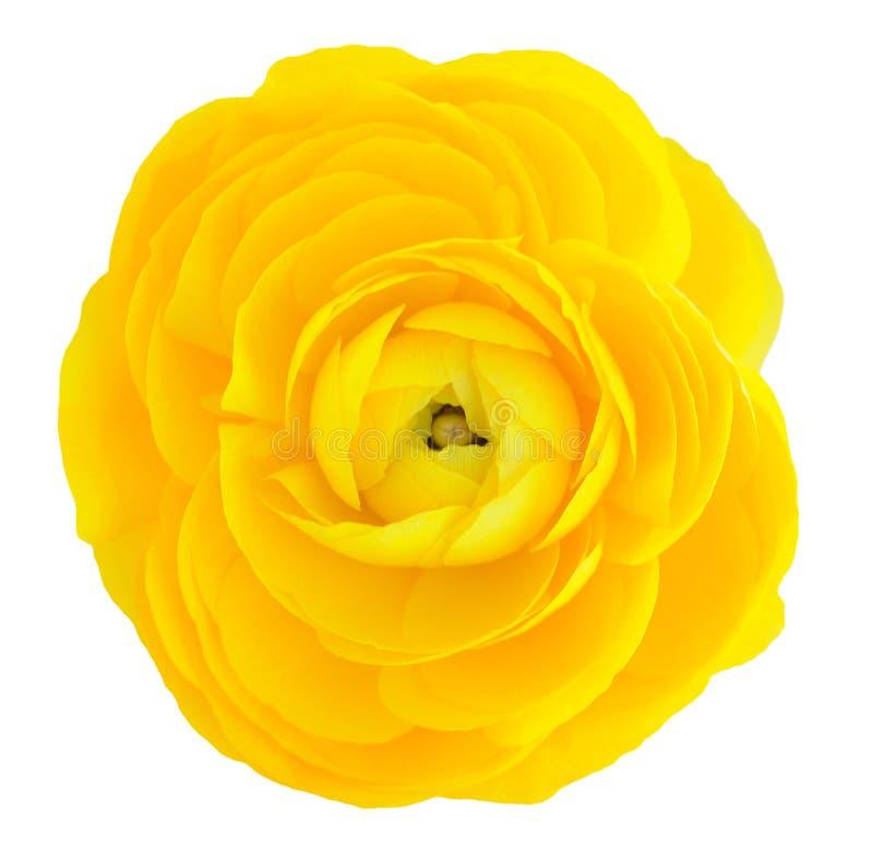 Żółty jaskier obraz royalty free
