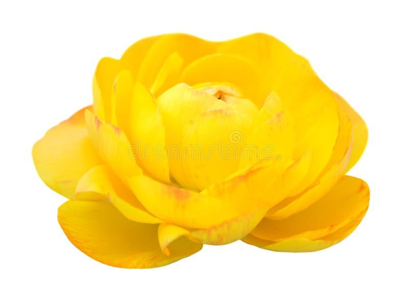 Żółty jaskier fotografia stock