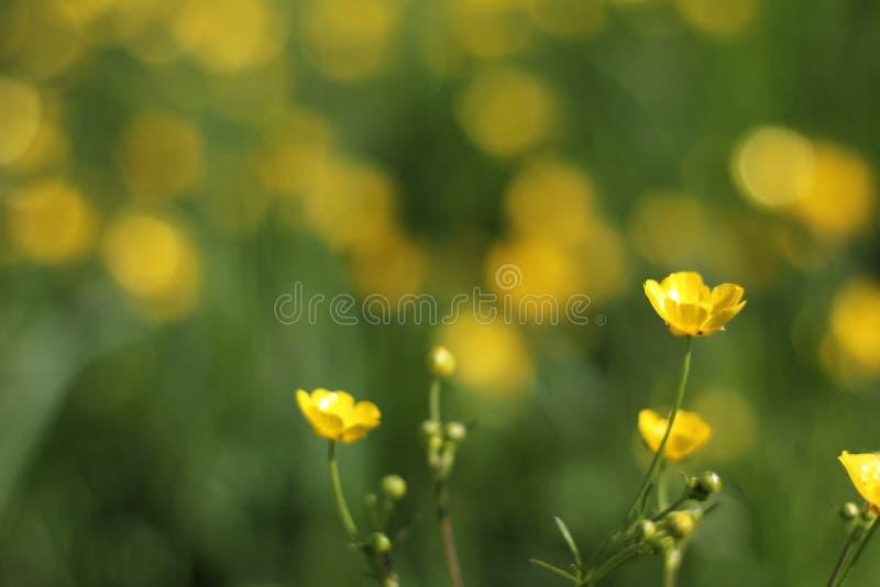 Żółty jaskier fotografia royalty free