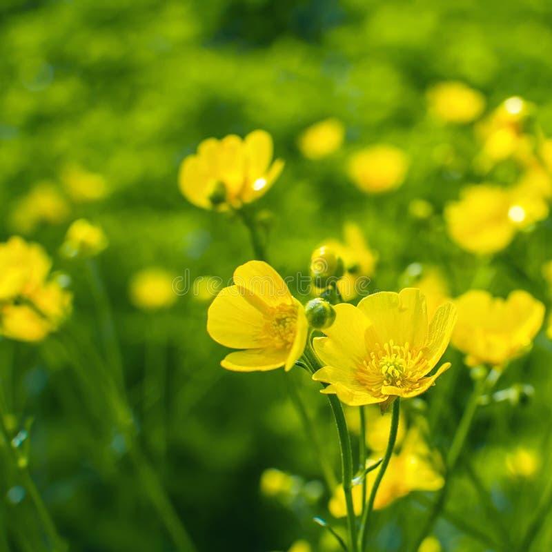 Żółty jaskier kwitnie w polu ranunculus repens obrazy stock