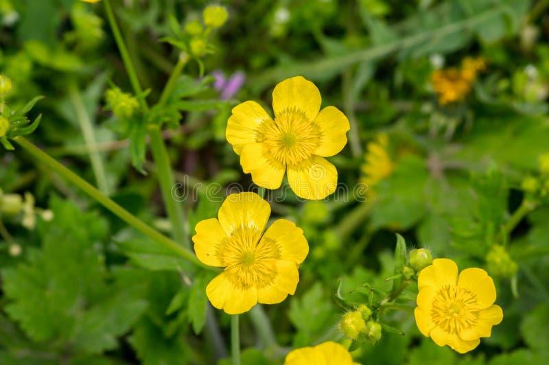 Żółty jaskier kwitnie w zielonej trawie zdjęcia stock