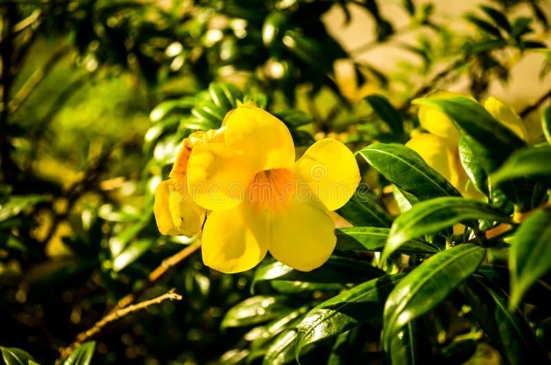 Żółty jaskieru allamanda kwiatu okwitnięcie fotografia stock