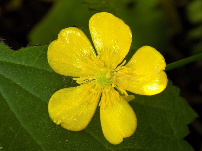 Żółty jaskieru kwiat fotografia stock