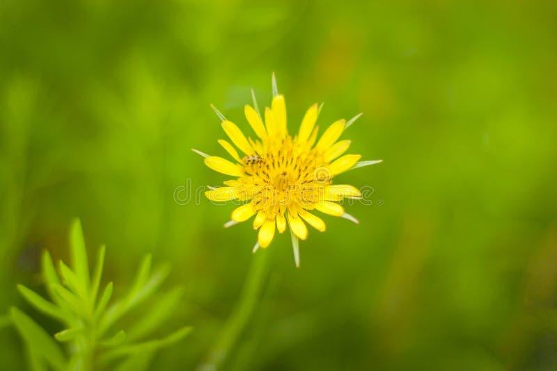 Żółty kózki brody kwiat fotografia royalty free