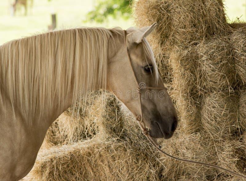 Żółty koń fotografia stock