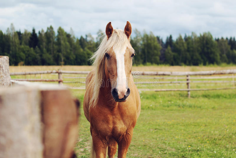 Żółty koń w paśniku zdjęcia royalty free