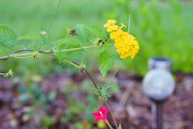 Żółty krwawnika kwiat zdjęcie stock