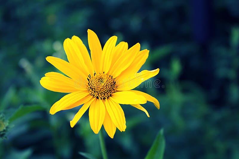 Żółty kwiat fotografia stock