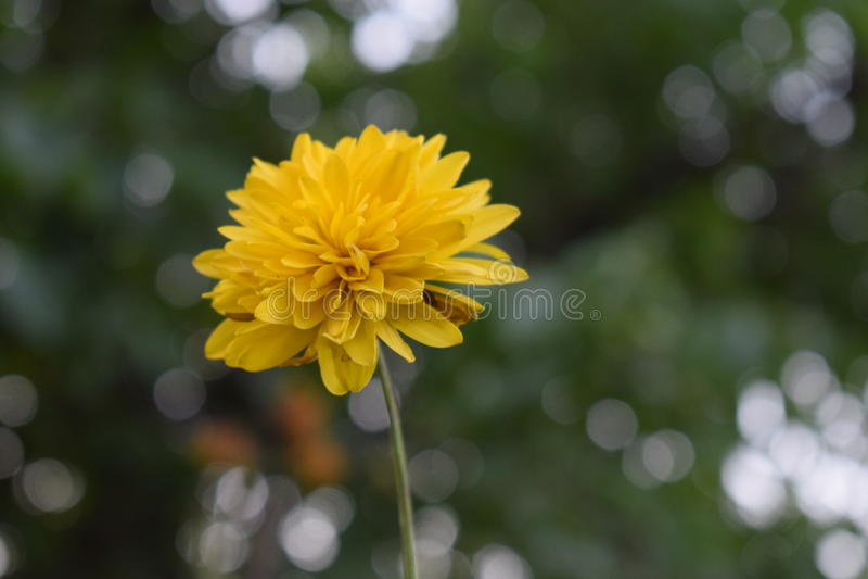 Żółty kwiat zdjęcia stock