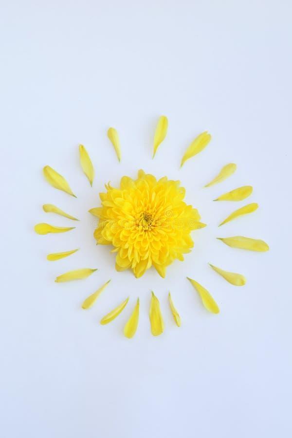 Żółty kwiat chryzantema z płatkami na białym tle obrazy royalty free