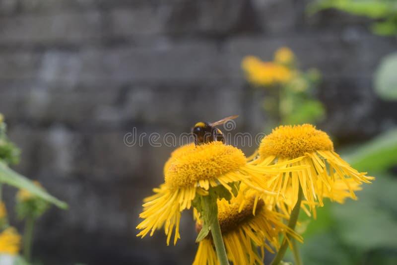 Żółty kwiat i pszczoła fotografia royalty free