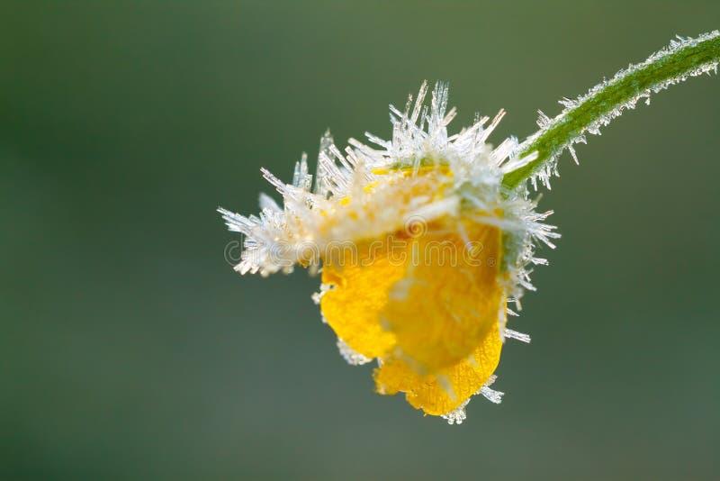 Żółty kwiat jaskier zakrywa z hoarfrost fotografia royalty free