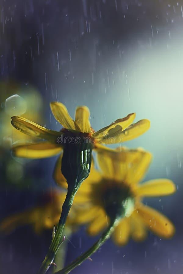 Żółty kwiat makro- zdjęcie royalty free