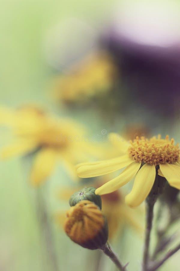 Żółty kwiat makro- obrazy royalty free
