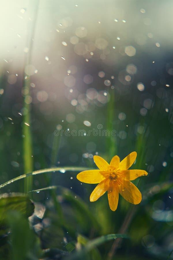 Żółty kwiat makro- fotografia royalty free
