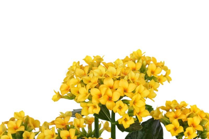 Żółty kwiat na białym tle obrazy royalty free