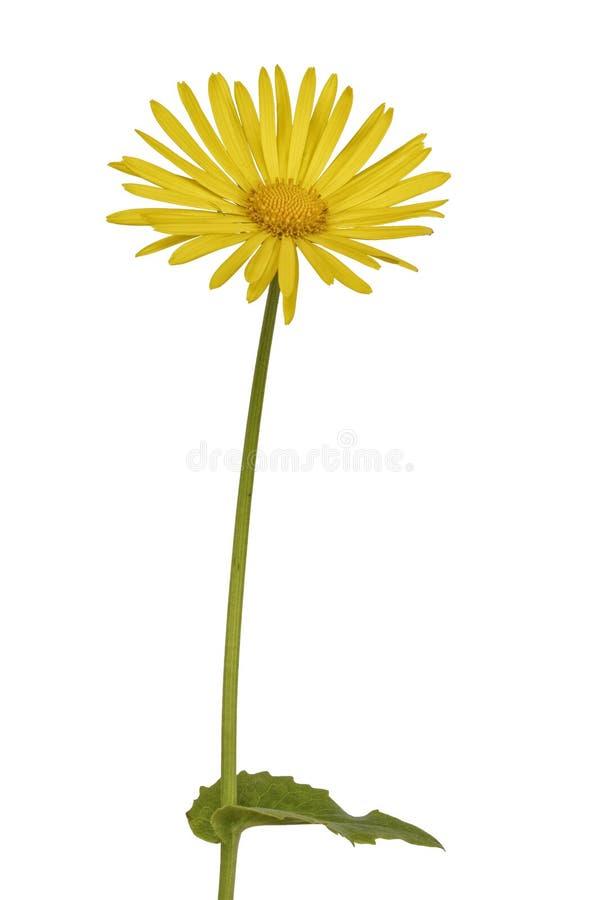 Żółty kwiat na białym tle zdjęcie royalty free