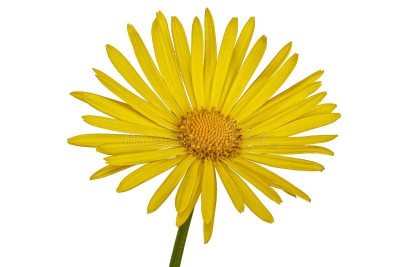 Żółty kwiat na białym tle fotografia stock