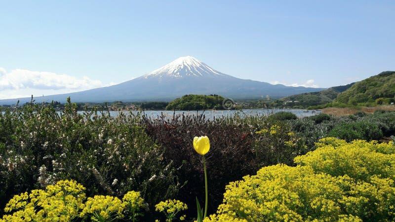 Żółty kwiat przy kawaguchiko jeziorem w Japonia obrazy stock