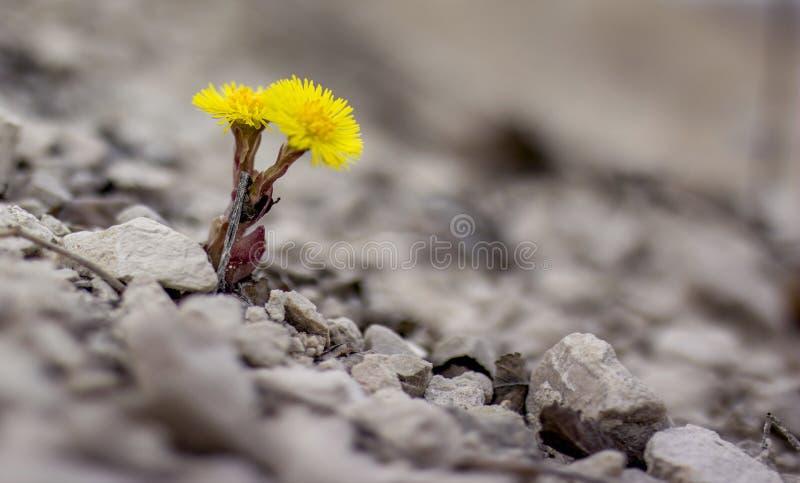 Żółty kwiat w naturze Ja r na skałach w skale zdjęcia stock