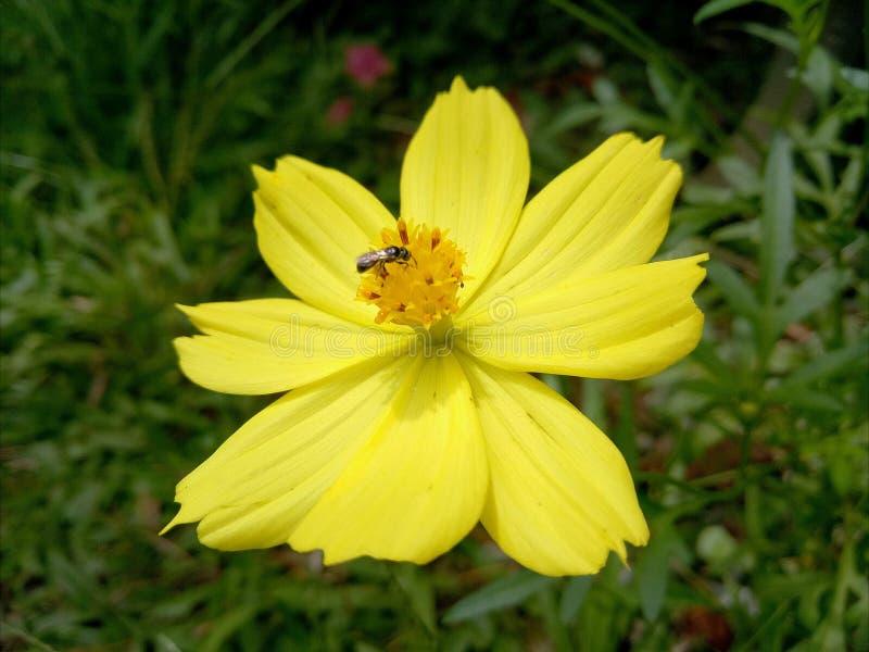 Żółty kwiatu insekt fotografia stock