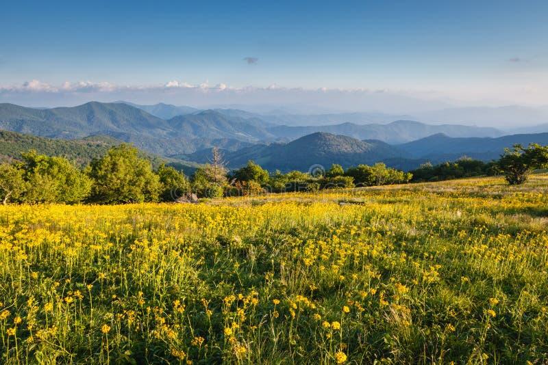 Żółty kwiatu pola Appalachian ślad NC zdjęcia royalty free