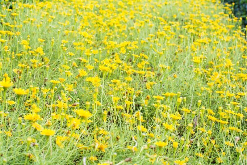 Żółty kwiatu pola tło zdjęcie stock